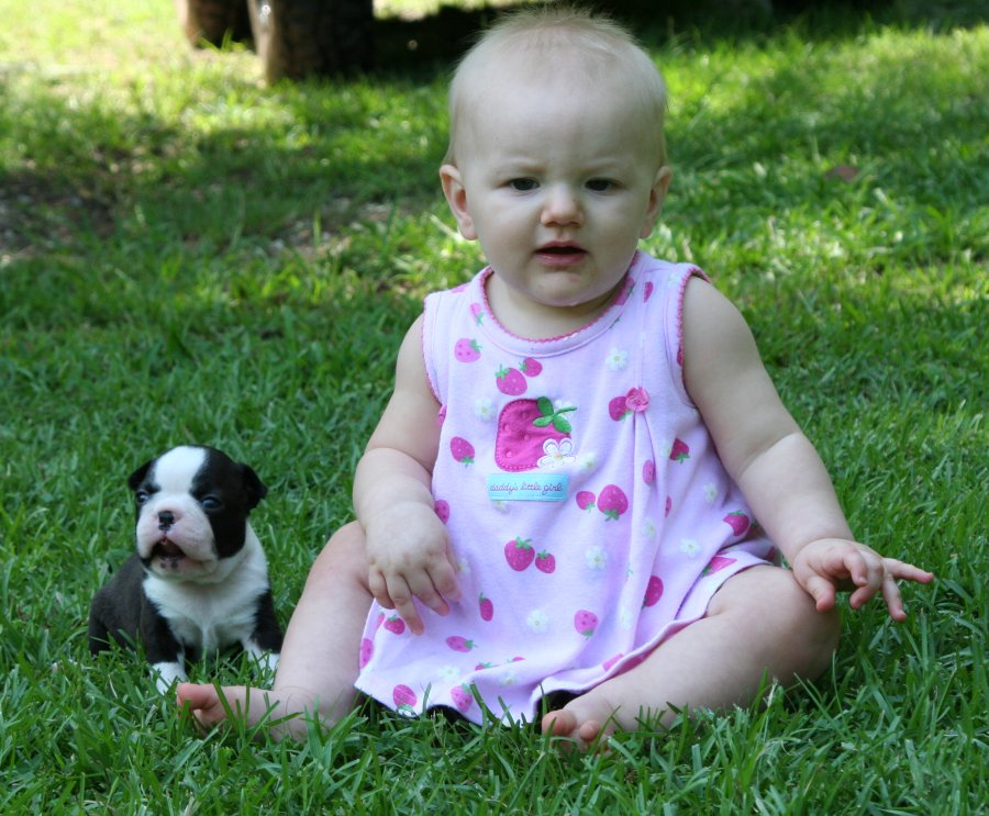 Boston terrier breeder cincinnati