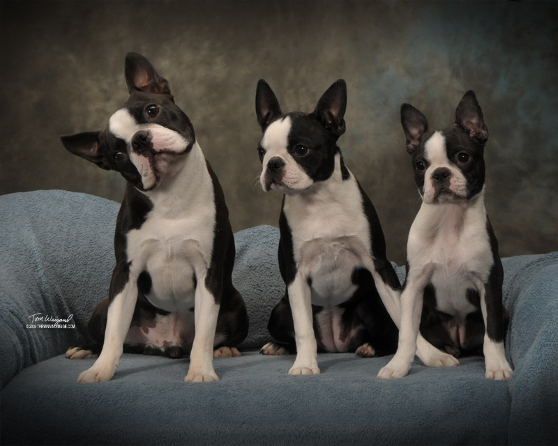Circle Js Boston Terriers Breeder Puppy For Sale Breeding