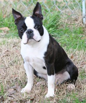 Boston terrier rescue gainesville fl
