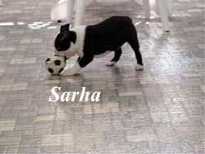 Boston terrier breeders show quality
