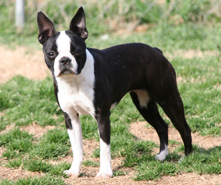 Circle J S Boston Terriers Breeder Puppy For Sale Breeding