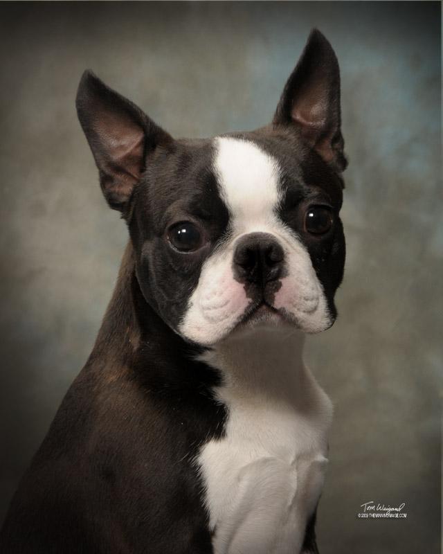 Circle J's Boston Terriers Breeder Puppy For Sale Breeding