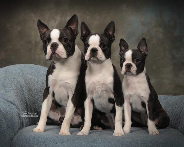 Circle J S Boston Terriers Breeder Puppy For Sale Breeding