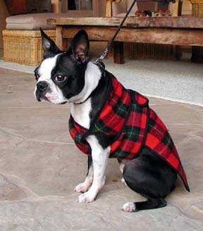 Circle J's Boston Terriers Breeder Puppy For Sale Breeding Puppies
